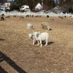 地元の牧場で羊を撮影してみた