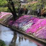 地元の芝桜祭りへ行ってきた