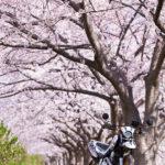 地元の桜が綺麗な場所で写真撮影