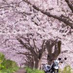 満開の桜・お花見ツーリング
