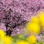 渋滞を避けつつ伊豆・河津桜と菜の花ツーリング