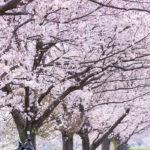 地元の桜が見頃になったので撮影してきた。