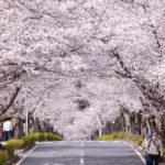 満開の桜並木、秩父・長瀞ツーリング