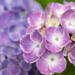 約200種類・1万株の紫陽花が咲く相模原北公園へ行ってきた。
